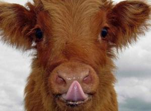 Дикая лиса заразила бешенством бычка в Ростовской области