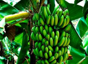 В Таганроге можно будет вырастить бананы и кокосы через 30 лет