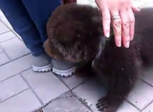 В таганрогском «Живом уголке» выгуливали медвежонка