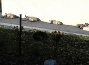 Бродячие собаки на улице Шмидта в Таганроге кидаются на женщин и детей