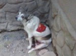 В Таганроге появился садист – живодер, с собаки  срезали кожу