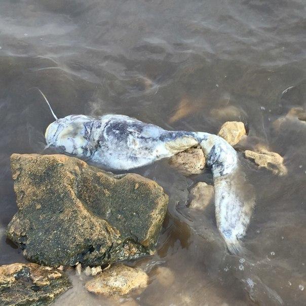 В Таганрогском заливе массово гибнет рыба