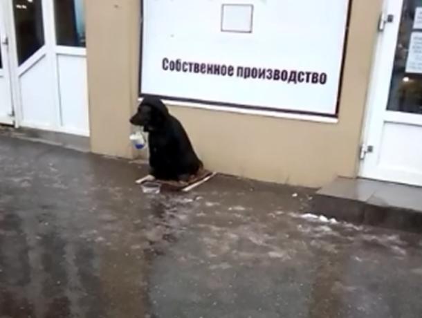 Собака с ведерком в зубах просит милостыню на Новом вокзале в Таганроге