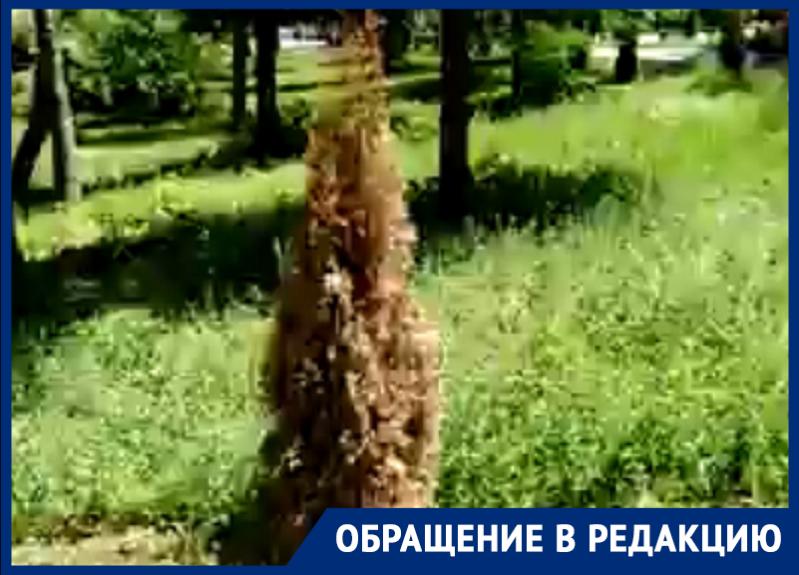 В Таганроге в обновленном Приморском парке уже начали увядать деревья