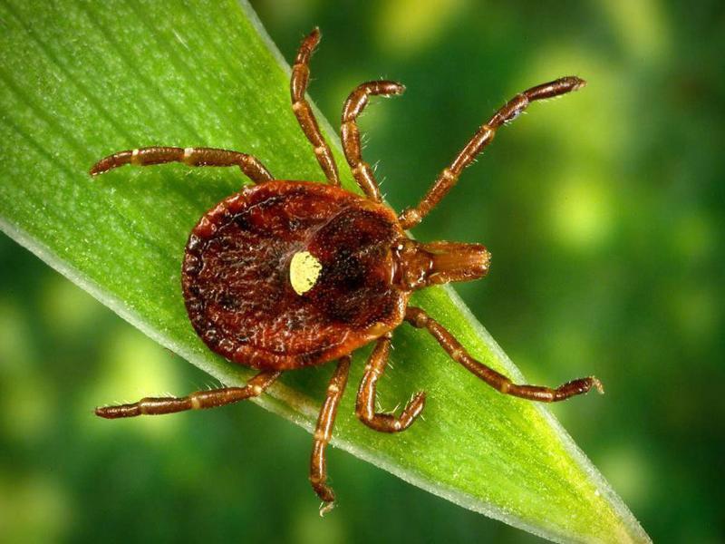 Предупреждаем таганрожцев об опасности укусов клещами
