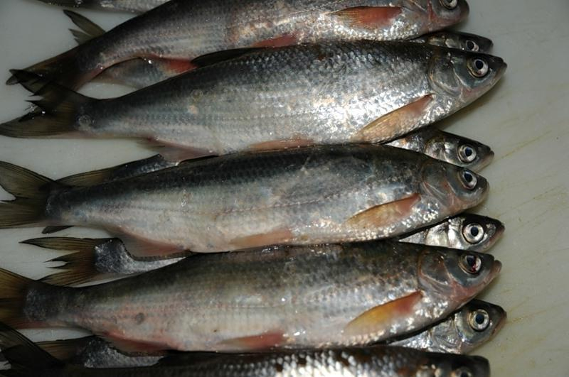 Таганрогские рыбаки теперь могут ловить шемаю