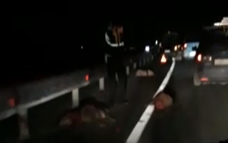Под колесами  автомобилей на трассе Ростов –Таганрог погибло большое стадо кабанов