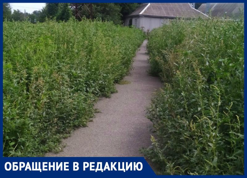 В Таганроге буйный цвет амброзии: от Водопроводной до «Мармелада» сплошные заросли