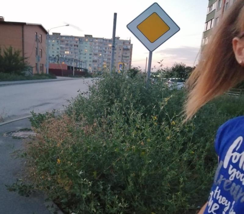 Штрафуют строже, но амброзии в Таганроге меньше не становится