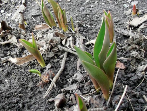 В Таганроге расцвели тюльпаны