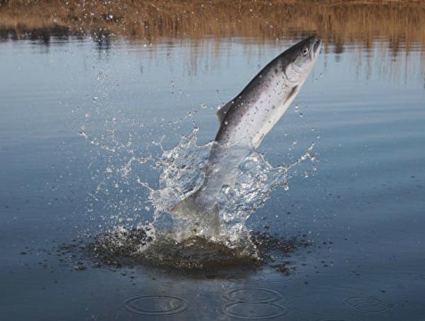 Ростовские ученые восстанавливают краснокнижную рыбу для получения черной икры