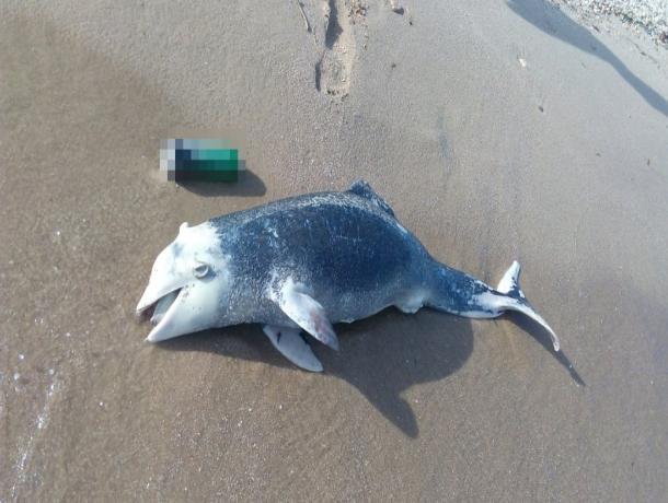 На берег Таганрогского залива выбросился дельфин